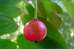 food-fruit-manzanita - Beautiful tree: unsa gani toy pangalan ani? - Photos Unlimited